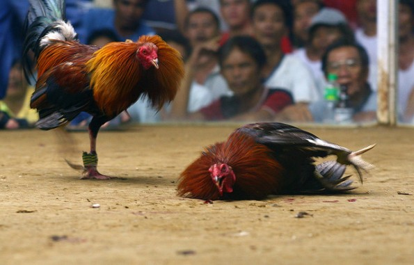 Bandar Judi Sabung Ayam Online Terpercaya