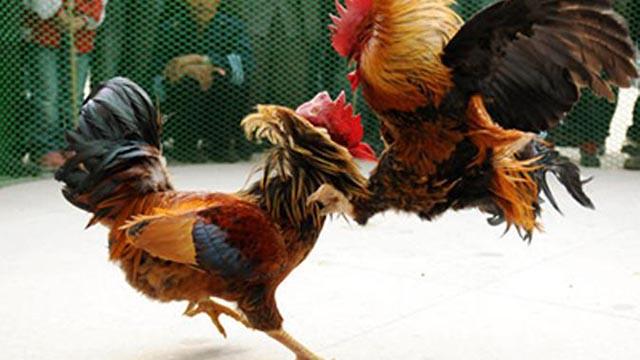 Taruhan Sabung Ayam Online Depo Termurah