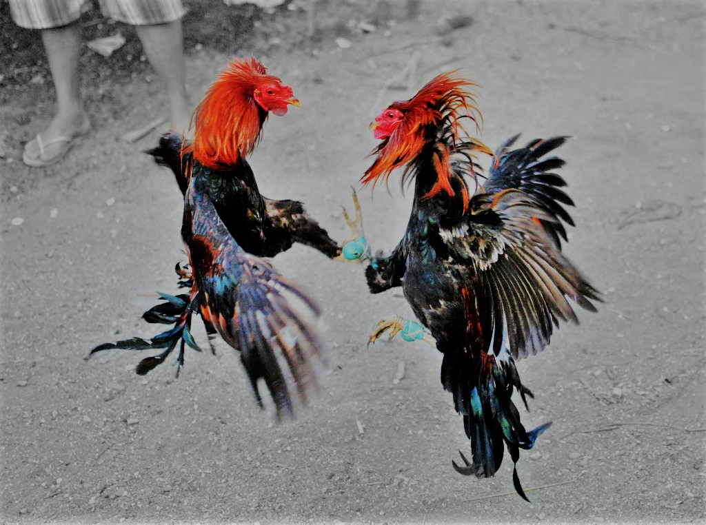 Situs Sabung Ayam Online Terbesar