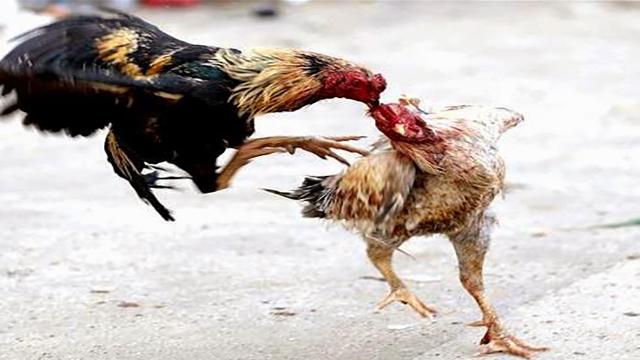 Permainan Taruhan Judi Sabung Ayam Online